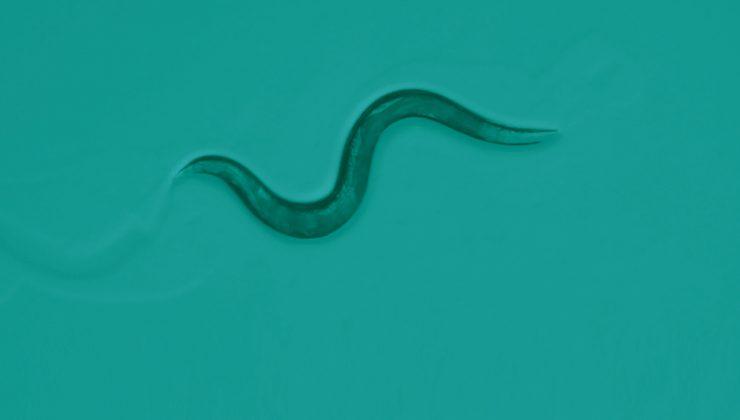microscopic view of a nematode